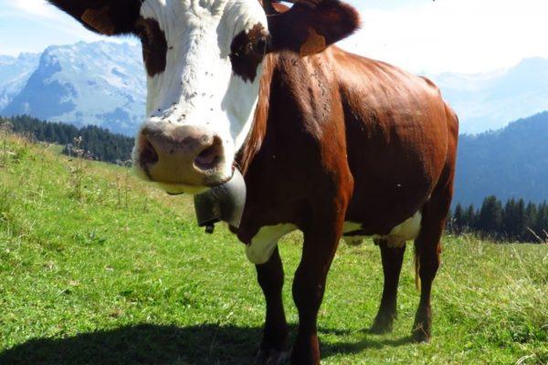 alps-cow-alpage-summer